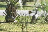 sandhill cranes in the front yard